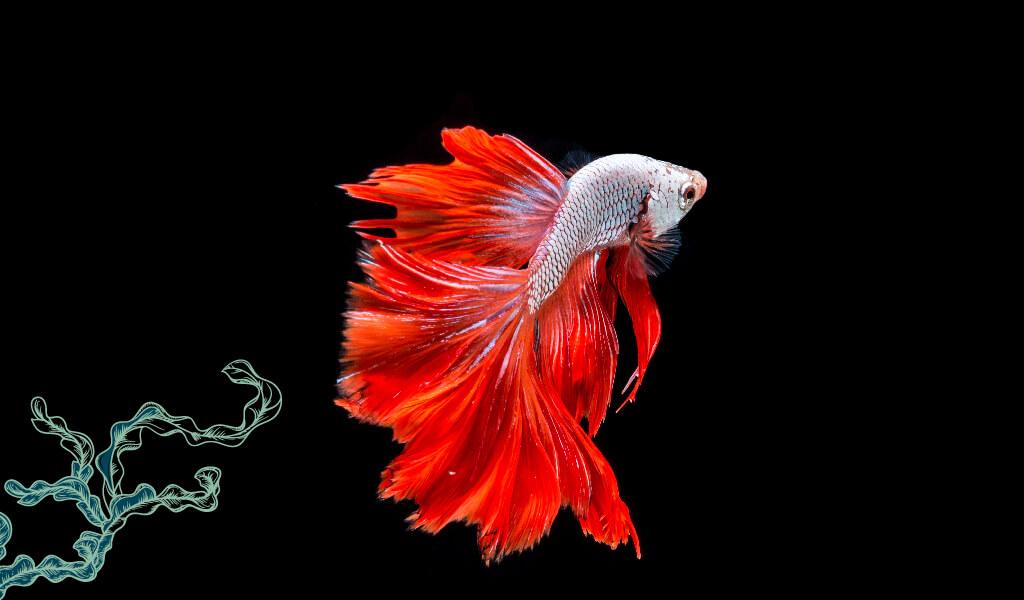 beta balığı, flamenko