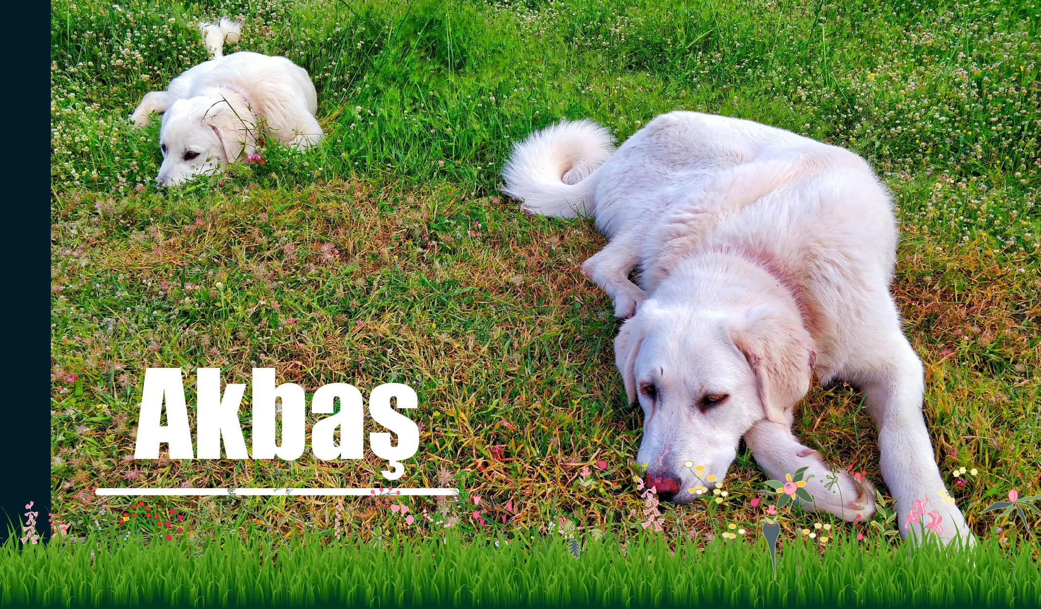 anadolu köpekleri