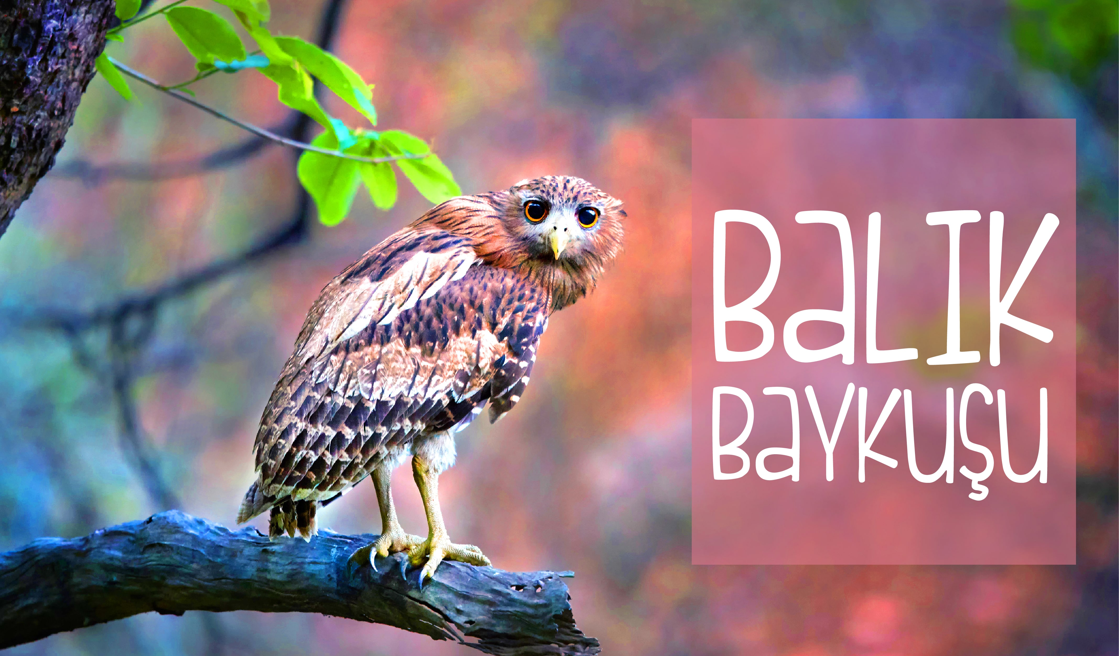 baykuş türleri