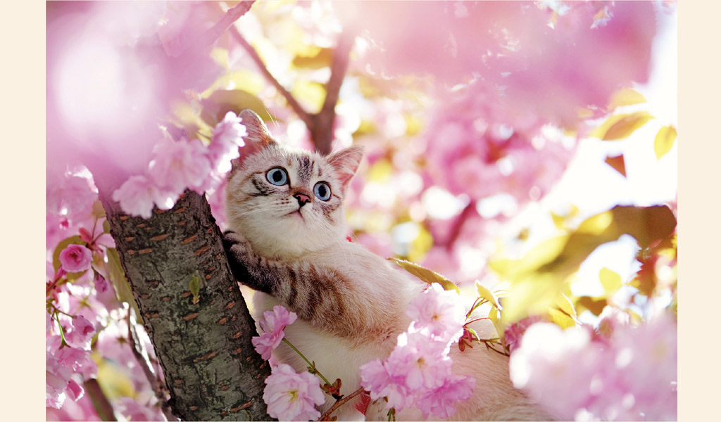 japon kedisi