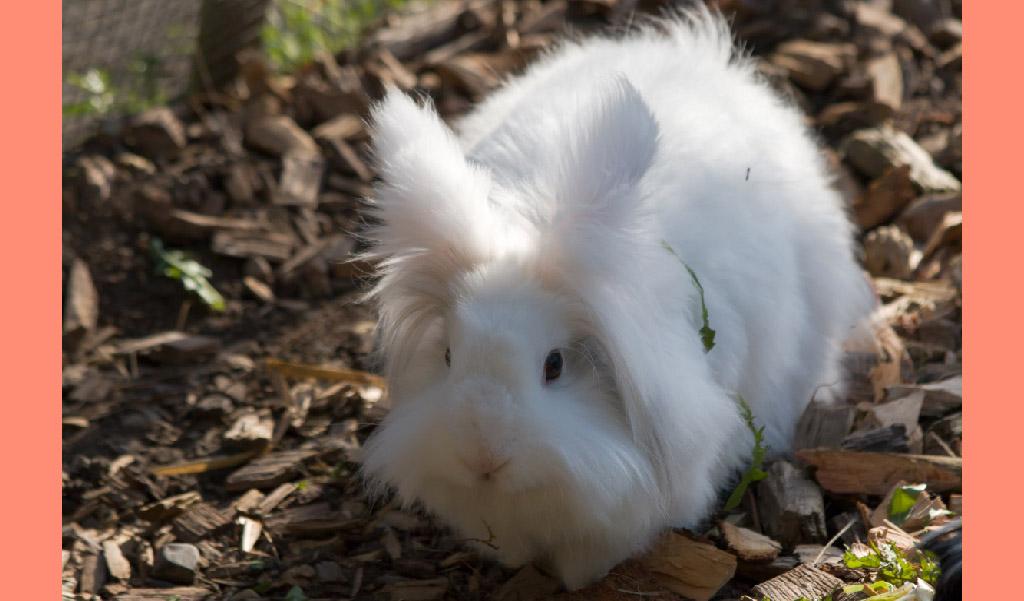 angora tavşanı